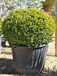 Buxus sempervirens. 130cm Box dome