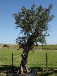 Ancient Olive Tree - (ref OL2999)