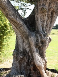 Ancient Twisted Olive Tree 380 cm