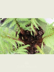 Small Tree fern Dicksonia antarctica
