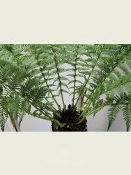 3 foot Tree Fern - Dicksonia antarctica