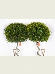 Pair of Extra Large Spiral Bay Trees