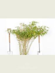 Fargesia rufa bamboo 1.5-1.8m high