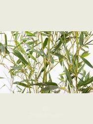 Phyllostachys bissetii 1.4-1.7m high