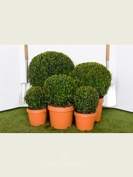 Buxus sempervirens. 25cm Box ball