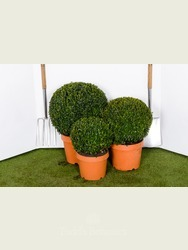 Buxus sempervirens. 30cm Box ball