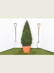 Buxus sempervirens. 90cm Box cone