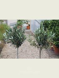 2 x Mini Standard Olive Trees