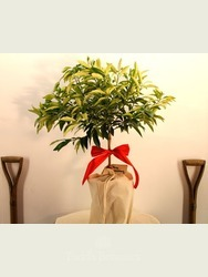 Gift Wrapped Kumquat Tree
