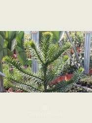 Monkey Puzzle Tree - Gift Wrapped