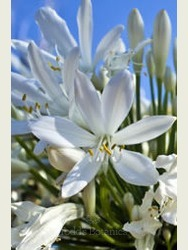 Agapanthus 'Silver Baby' 1 Ltr
