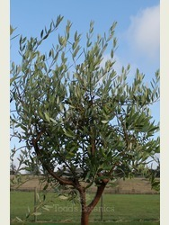 Spanish Olive Tree - great branch structure