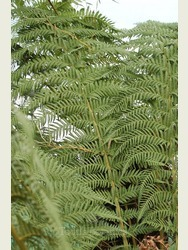 2 ft Tree Fern