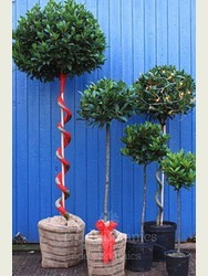 Gift Wrapped Large Spiral Bay Tree