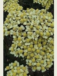 Achillea milefolium 'Yellowstone'