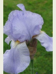 Iris 'Harriette Halloway'