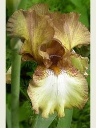 Iris 'Patina'