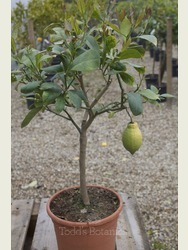 Half Standard  Lemon Tree