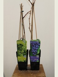 Twin pack Grapevine