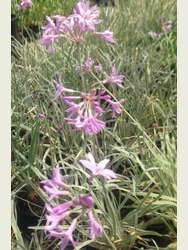 Tulbalghia violacea 'Variegata'