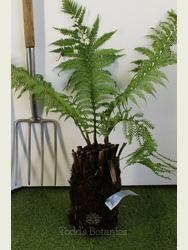 Small Tree fern Dicksonia antarctica