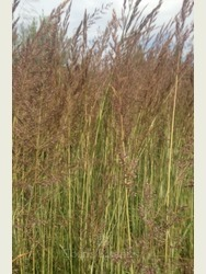 Calamagrostis acu. 'Avalanche'