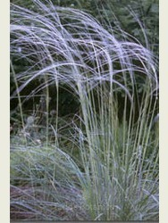 Stipa barbata - Feather Grass