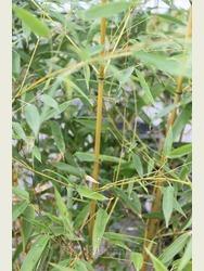 Phyllostachys Spectablis 1.5-2m high
