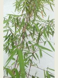 Fargesia jiuzhaigou 1.5-1.8m high