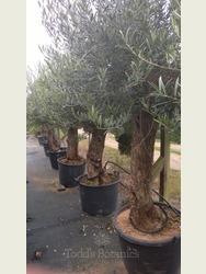Large Olive Trees - 35 + years old