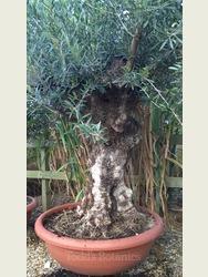 Ancient Olive Tree