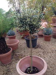 Gift wrapped Holly - Ilex aquifolium 'Silver van Tol'