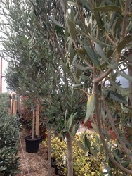 Spanish Loose Style Olive Tree
