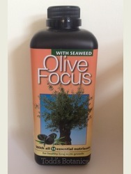 2 x Bushy Olive Trees 1/2 standard