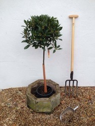 1/2 Standard Bay Tree Laurus nobilis AGM