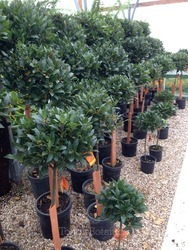 Pair of 1/2 Standard Bay Trees