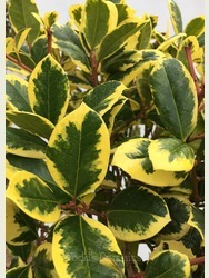 Ilex × altaclerensis 'Golden King' AGM