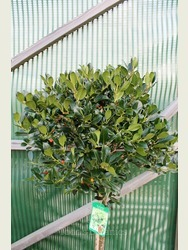 Ilex aquifolium 'J.C. van Tol' AGM