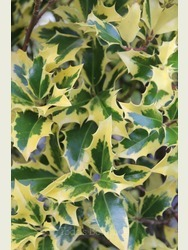 Ilex aquifolium 'Alaska Aurea'