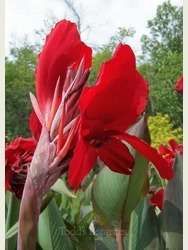 Canna 'Russian Red'