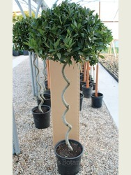 Large Spiral Bay Laurus nobilis