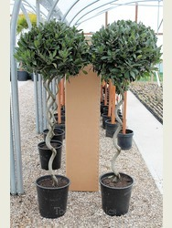 Pair of Large Spiral Bay Trees
