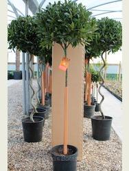 Pair of 4/4 Standard Bay Trees