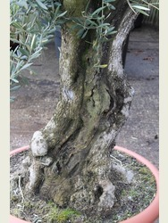Ancient Olive Tree  1702895A