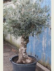 Ancient Olive Tree 1702495B