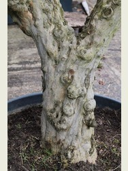 Mature Pomegranate Tree
