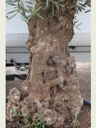 Ancient Olive Tree 1707695G