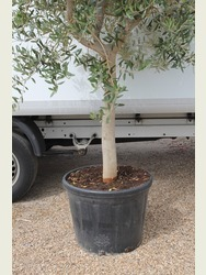 Mature Olive Tree  Strong Thick Trunk