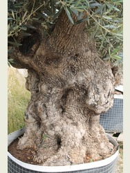 Lovely Old Olive Tree 17071295B