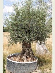 Old Olive Tree 17071495A